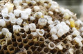 Bees nest closeup of yellow jacket with baby larvae Royalty Free Stock Image