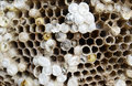 Bees nest closeup of yellow jacket with baby larvae Royalty Free Stock Photos