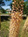 Bees pollinate the inflorescence of pink eremurus plant