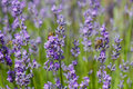 Bees pollinate lavender flowering sunny day Stock Photography