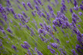 Bees pollinate lavender flowers Royalty Free Stock Photo
