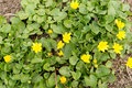 Bees pollinate yellow spring flower primroses in the garden lesser celandine ranunculus ficaria Royalty Free Stock Image
