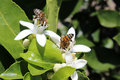 Bees pollinating fruit trees honey a blossom on a lemon tree in an orchard in cotacachi ecuador Royalty Free Stock Photography
