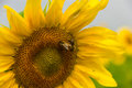 Bees on sunflower two bee collecting nectar the Stock Image