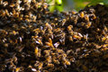 Bees Swarming Royalty Free Stock Photo