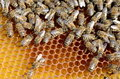 Bees take care of the larvae their new generation Stock Image