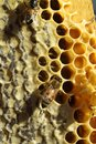 Bees which come from the harsh winter ncoming out of in their hives ncelebration to build cells for their honey so perfectly Royalty Free Stock Image