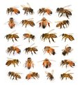 The bees on white background Royalty Free Stock Photo