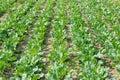 Beet field green geet before crop Stock Image