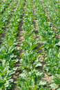 Beet field green geet before crop on edge Royalty Free Stock Images