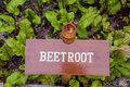 Beet root in the garden Royalty Free Stock Photo