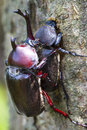 Beetle courtship Royalty Free Stock Photo