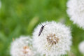 Beetle on a dandelion with mustache white Royalty Free Stock Images