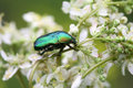 Beetle On Flower Stock Image