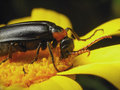 Beetle on the flower Royalty Free Stock Photo