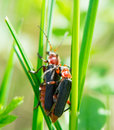Beetle on grass macro photography Stock Images