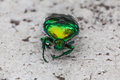 Beetle green sits on a concrete floor Stock Photography
