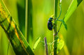 Beetle hanging on a branch of grass Stock Photography