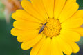 Beetle insect Notobitus montanus Hsiao on Marigold flower. Yellow petals garden medical plant macro view. Shallow depth Royalty Free Stock Photo