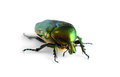 Beetle isolated on white background. Royalty Free Stock Photo