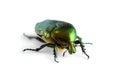 Beetle isolated on white background. Royalty Free Stock Photo