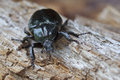 Beetle iucn red list and eu habitats directive specie hermit osmoderma eremita on rotten wood dweller of old hollow trees Stock Images