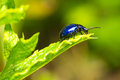 Beetle on leaf blue in garden Stock Photos