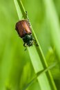 Beetle on a leaf of grass Stock Photo