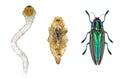 Beetle life cycle Royalty Free Stock Photo