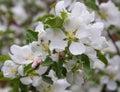 Beetle longhorn beetle on the flowers of apple spring apple tree in bloom Stock Images