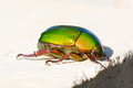 Beetle or Metallic Wood-boring (Buprestid) Royalty Free Stock Photo