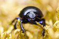 Beetle on the moos Stock Photography