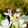 Beetle pollinate flower blossom close up of a Stock Photos