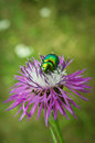 Beetle protaetia aeruginosa on the flower Royalty Free Stock Photo