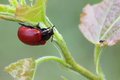 Beetle sits on a leaf chrysomela populi is species of broad shouldered beetles belonging to the family chrysomelidae subfamily Stock Photos