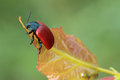 Beetle sits on a leaf chrysomela populi is species of broad shouldered beetles belonging to the family chrysomelidae subfamily Stock Image