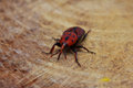 Beetle sitting on the wood red Royalty Free Stock Photo
