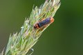 Beetle the soldier cantharis flavilabris on a bent Stock Photography