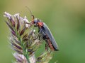 Beetle soldier cantharis fusca on a bent Stock Photos