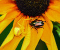 Beetle and spider japanese flower confrontation concept Royalty Free Stock Photos