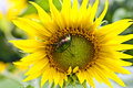 Beetle on a sunflower green sits flower Royalty Free Stock Photo