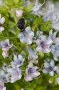 Beetle Tropinota squalida canariensis feeding on a flower of Echium decaisnei. Royalty Free Stock Photo