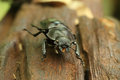 Beetle on wood Royalty Free Stock Photo