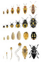 Beetles and bugs life stages Royalty Free Stock Photo
