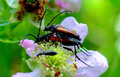 Beetles mating on a flower Stock Photo