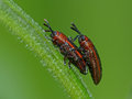 Beetles mating on a plant stem closeup of tiny red against green background Royalty Free Stock Photography