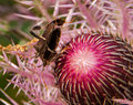 Beetles procreate thistle springe Stock Image