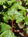 Beetroot leaves garden agriculture image red in the at sunny summer day Royalty Free Stock Photo