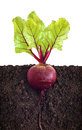 Beetroot with leaves in ground Royalty Free Stock Images