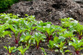 Beetroot plants  on a vegetable garden ground Royalty Free Stock Photo